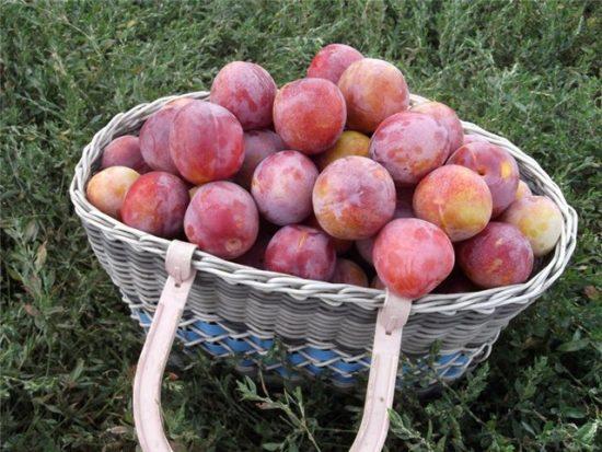 Плоды сливы Алёнушка