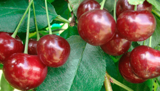 Плоды вишни Шалунья