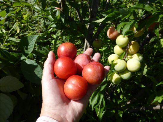Плоды сливы Красный шар в Хабаровске