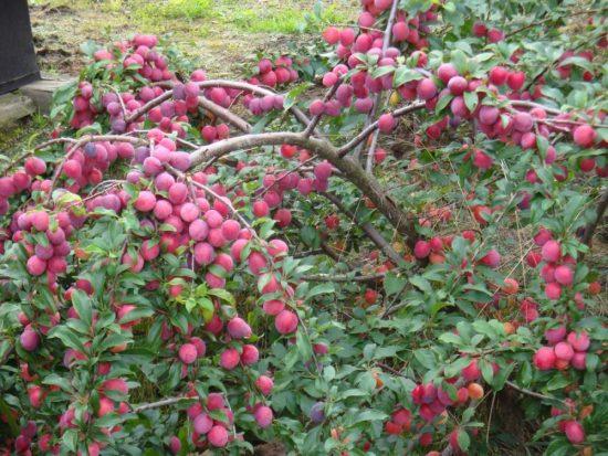 Урожай сливы на дереве