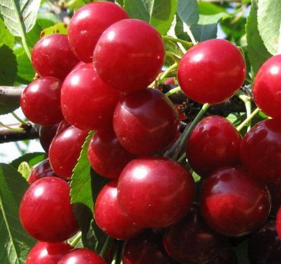 сорт вишни Самсоновка