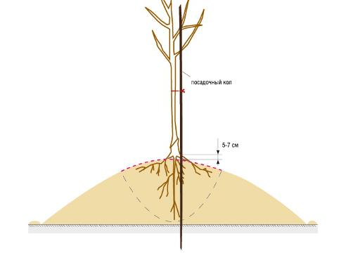 Правильная посадка дерева