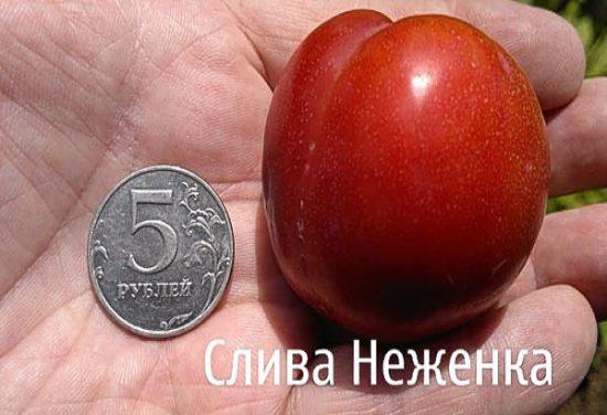 Плод сливы Неженка