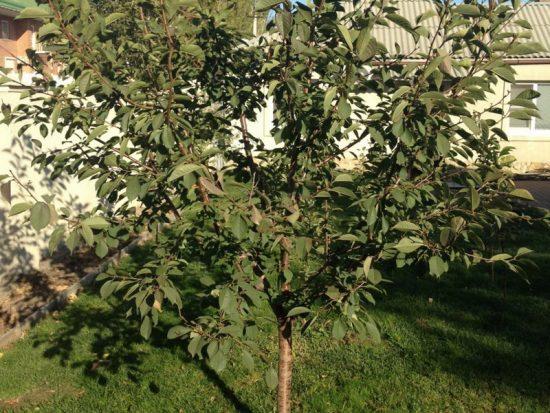 Дерево вишни сорта Новелла