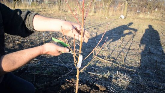 Обрезка вишни при посадке