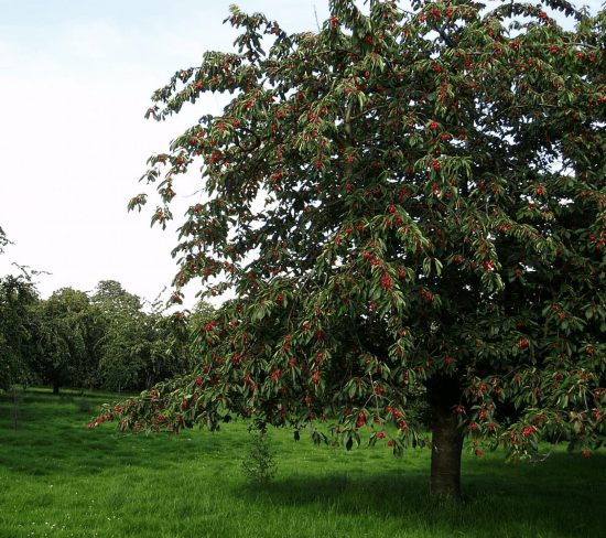 Высокорослое дерево вишни