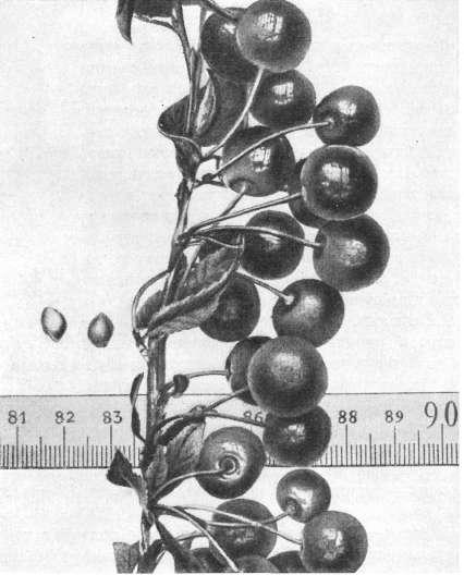 Сорт вишни Идеал