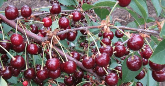 Ветка вишни с урожаем