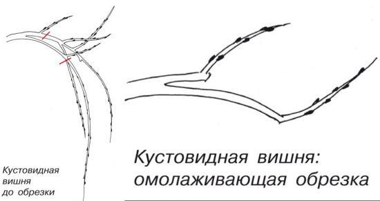 Схема омолаживающей обрезки вишни