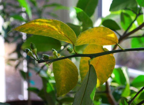 Жёлтые листья на лимоне