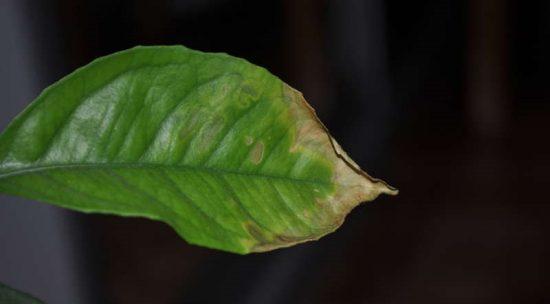 Ослабленный лист лимона