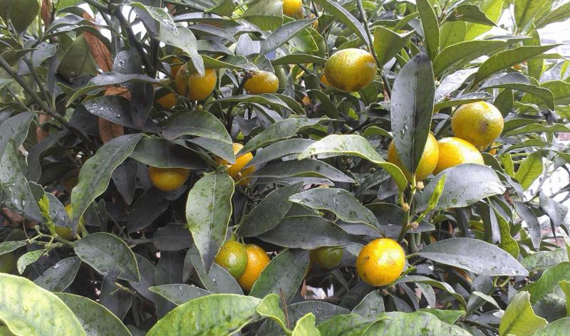 Проблемы с листьями лимона: болезни, вредители и неправильный уход