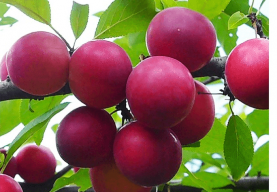 Плоды алычи Путешественница