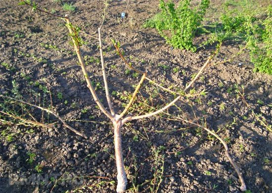 Кустовидная формировка молодого дерева