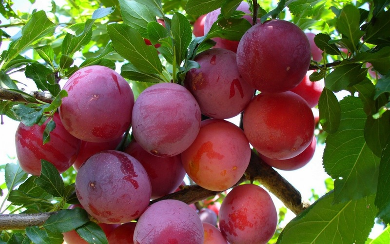 Слива Опал — сорт для сурового климата