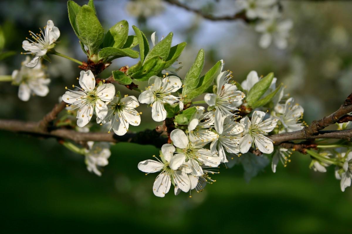 поиск, фото цветущей ветки сливы удобный