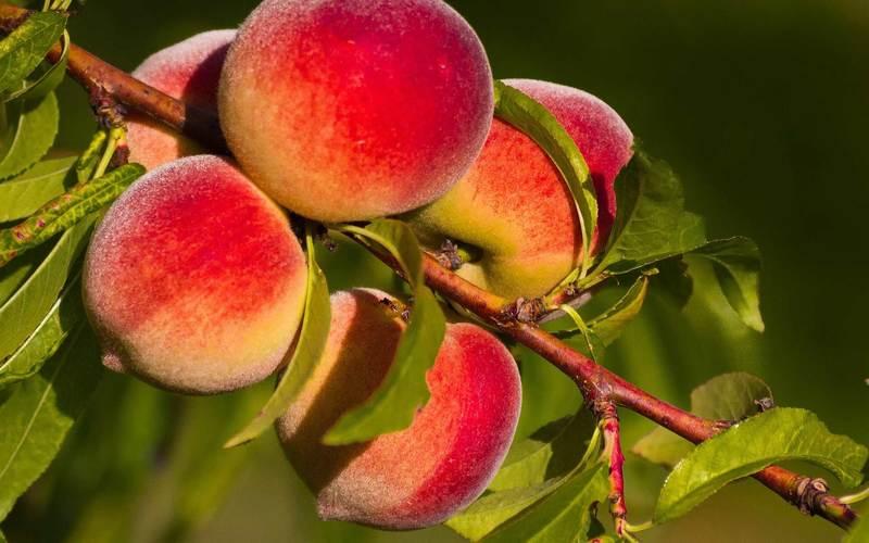 Кардинал — вкусный персик из Америки