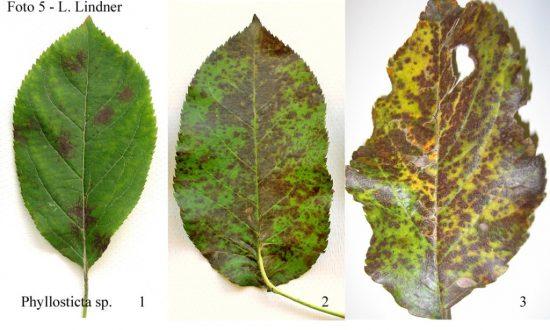 Листья растений, поражённые филлостиктозом