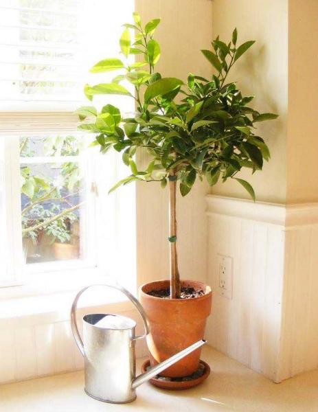 Лимонное деревце в комнате