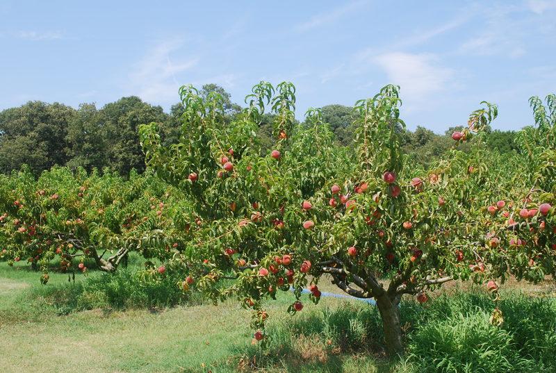 Подкормки персика — когда и чем удобрить восточный фрукт