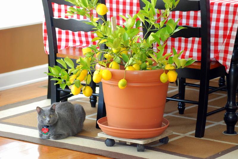 Как вырастить дома лимон из косточки