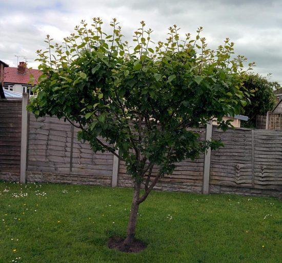 Дерево сливы в защищённом месте
