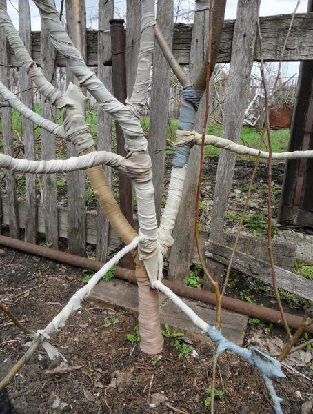 Утепление ствола и скелетных ветвей на зиму