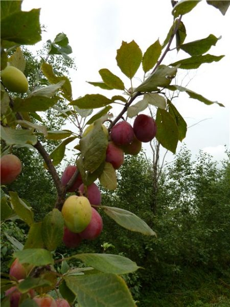 Плоды сорта Скороспелка красная, выращенные в Санкт-Петербурге