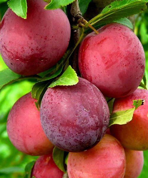 Плоды Алычи Найдёна