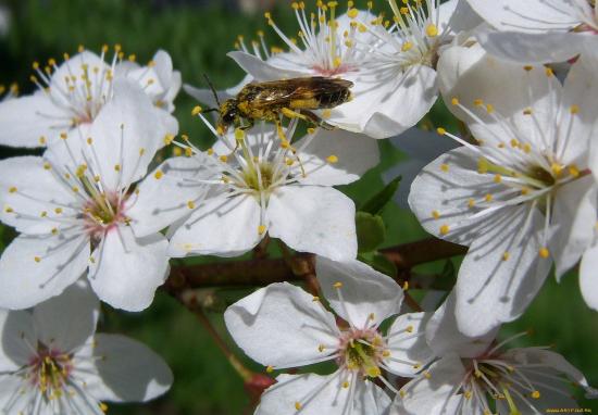 Пчела опыляет цветки