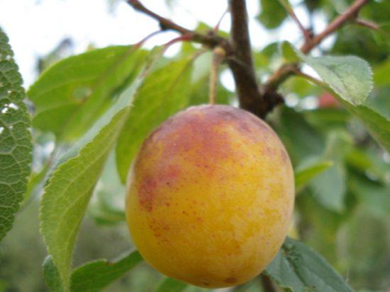 Плод сорта Яхонтовая, выращенный в Санкт-Петербурге