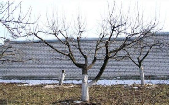 Дерево с чашевидной кроной