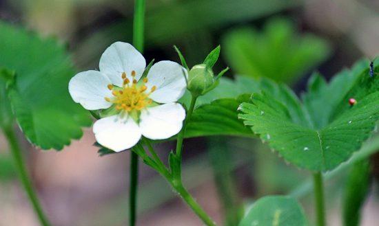 Бутон и цветок клубники