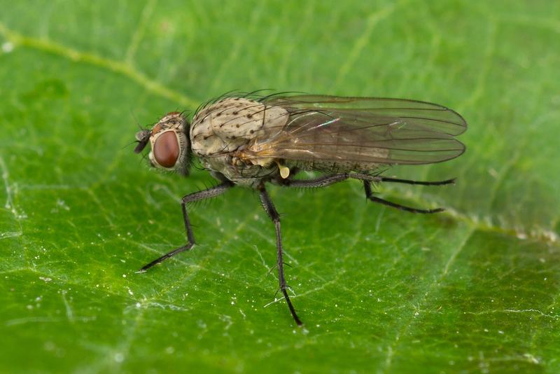 Луковая муха: боремся с вредителем и побеждаем