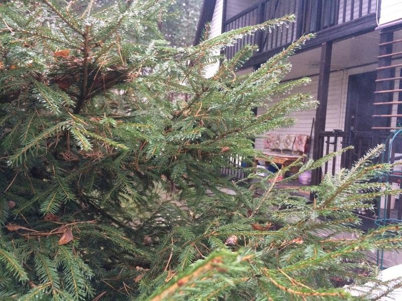 Почему ёлки нельзя сажать на участке перед домом