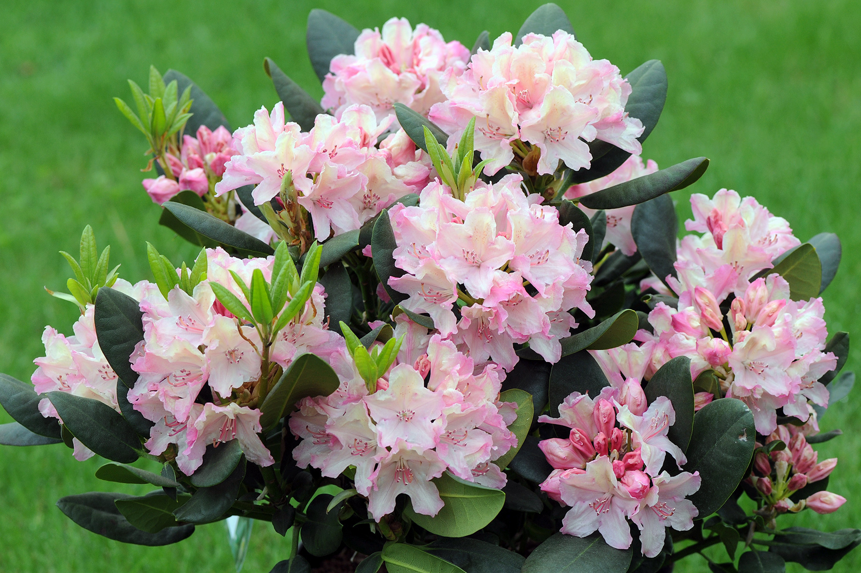 Цветы рододендрон купить цена