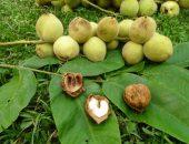 Растение орех