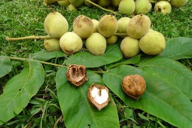 Почему нельзя сажать орех около дома: приметы и факты