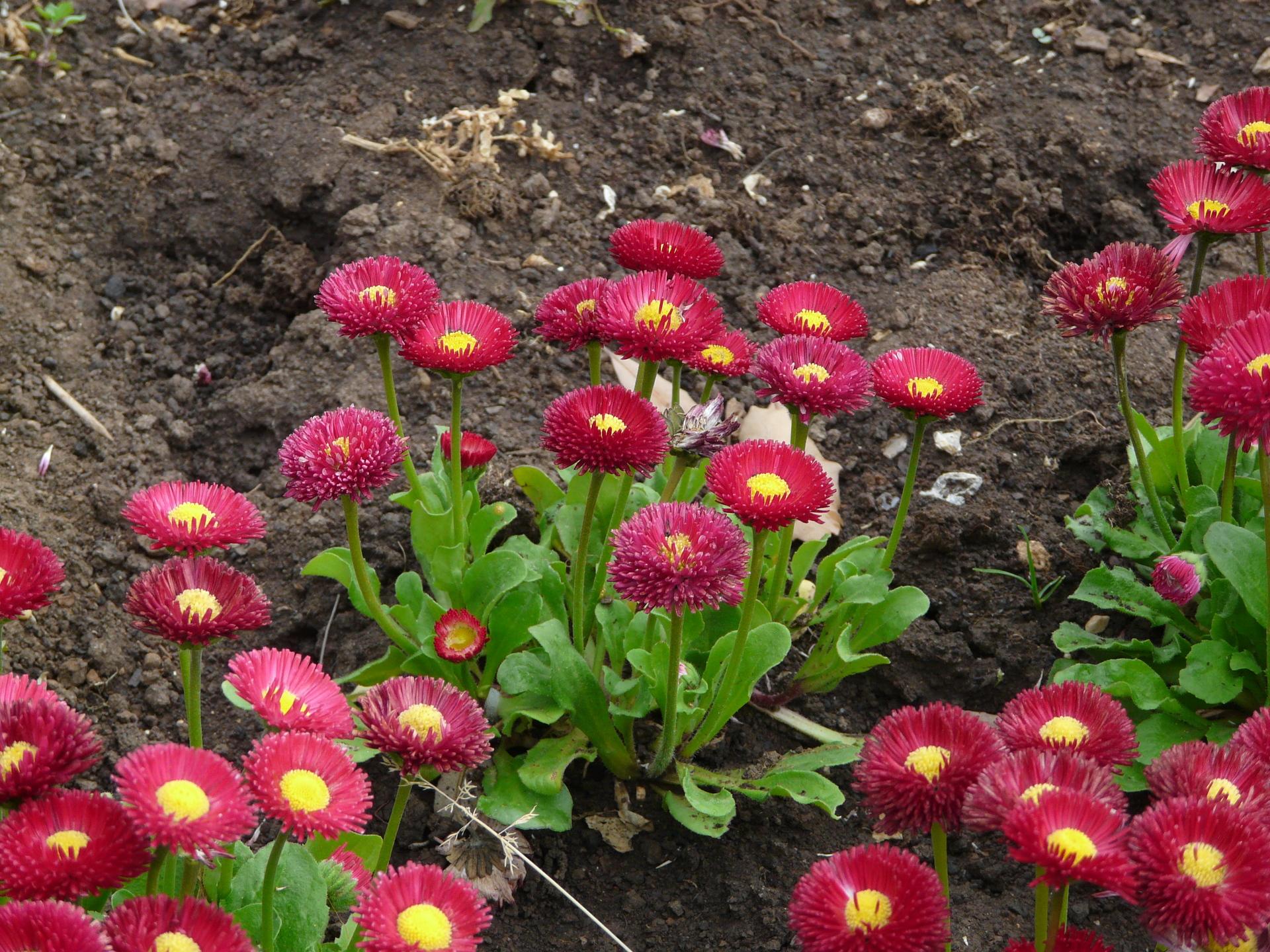 маргаритка весна красна фото защиты внешнего шума