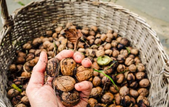 Собранные грецкие орехи