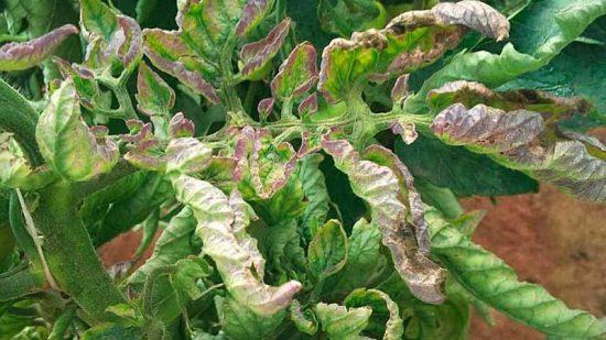 Поражение листьев фитофторой