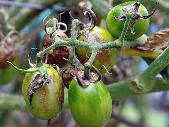 Поражение плодов фитофторой