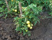 Уход за томатами в июле