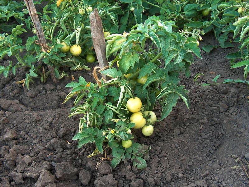 Уход за помидорами в июле: что сделать для отличного урожая