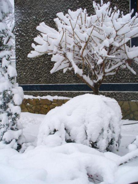 Форзиция зимой