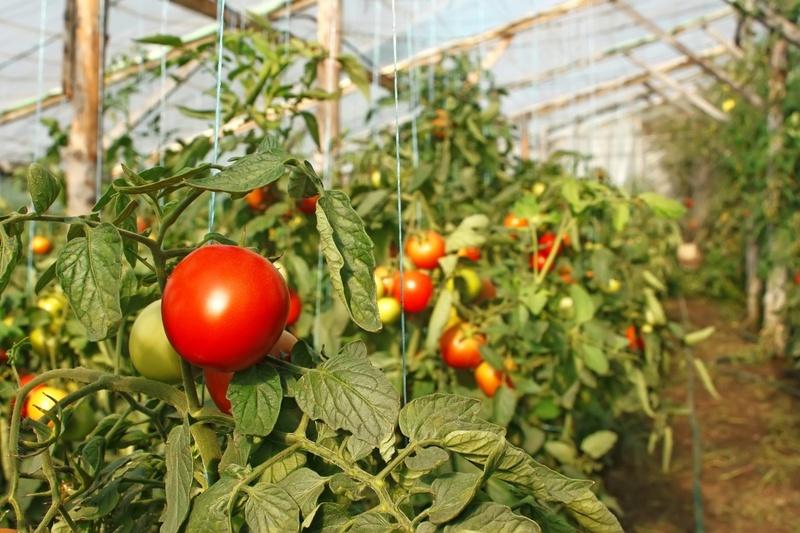 Чем подкормить помидоры для отличного урожая