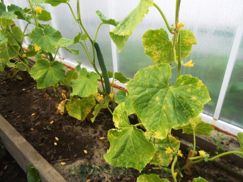 Что делать, если у огурцов желтеют листья: проверенные методы