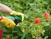 Как правильно обрезать розы летом после цветения