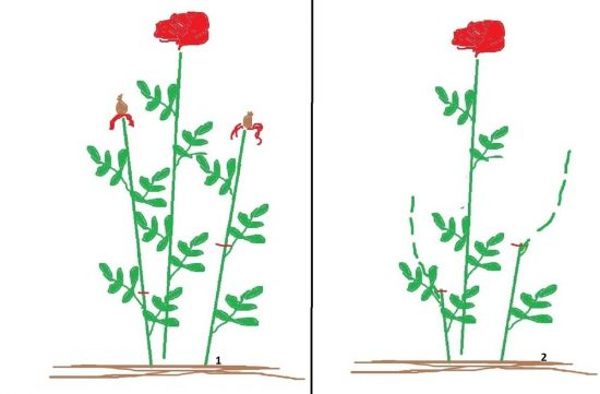 Обрезка роз летом после цветения