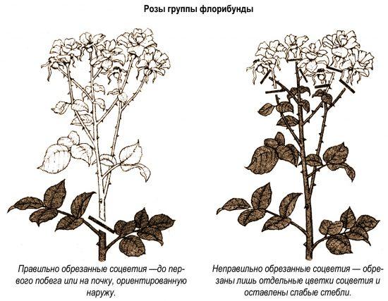 Летняя обрезка роз флорибунда